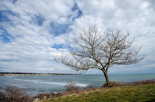 A lone tree on the Newport Rhode Island Cliff Walk